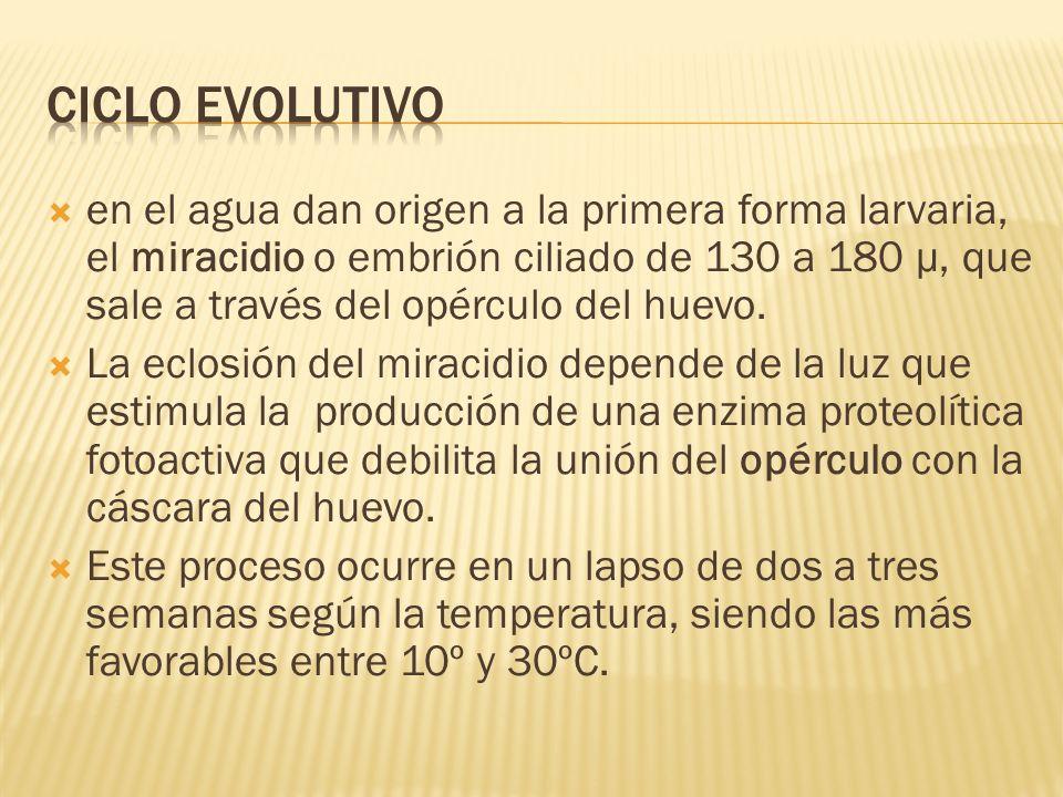 en el agua dan origen a la primera forma larvaria, el miracidio o embrión ciliado de 130 a 180 μ, que sale a través del opérculo del huevo. La eclosió