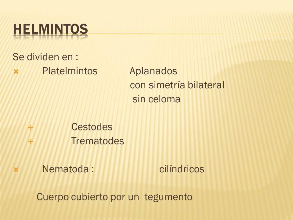 Se dividen en : Platelmintos Aplanados con simetría bilateral sin celoma Cestodes Trematodes Nematoda : cilíndricos Cuerpo cubierto por un tegumento