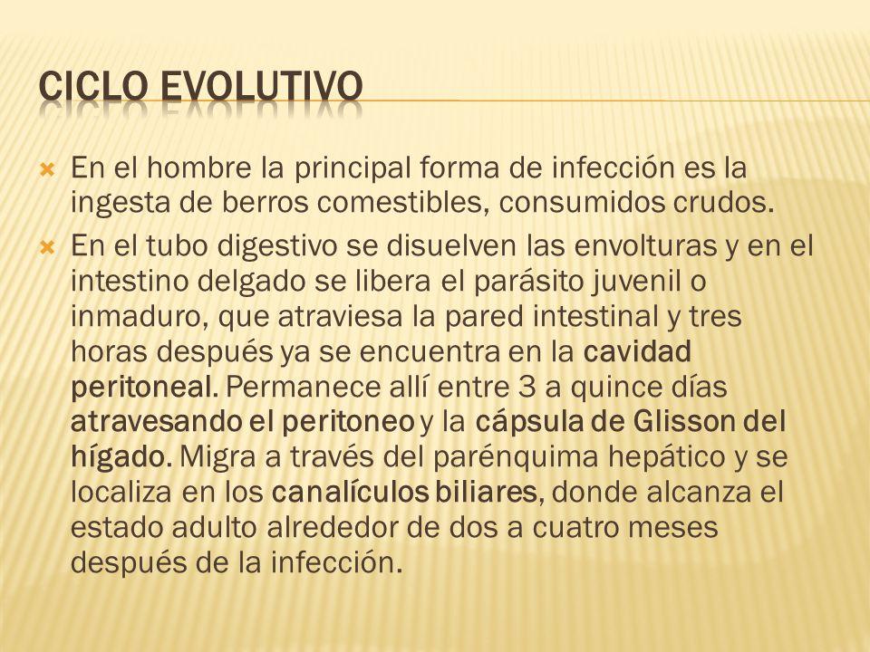 En el hombre la principal forma de infección es la ingesta de berros comestibles, consumidos crudos. En el tubo digestivo se disuelven las envolturas