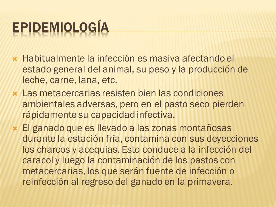 Habitualmente la infección es masiva afectando el estado general del animal, su peso y la producción de leche, carne, lana, etc. Las metacercarias res