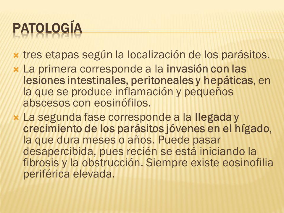 tres etapas según la localización de los parásitos. La primera corresponde a la invasión con las lesiones intestinales, peritoneales y hepáticas, en l