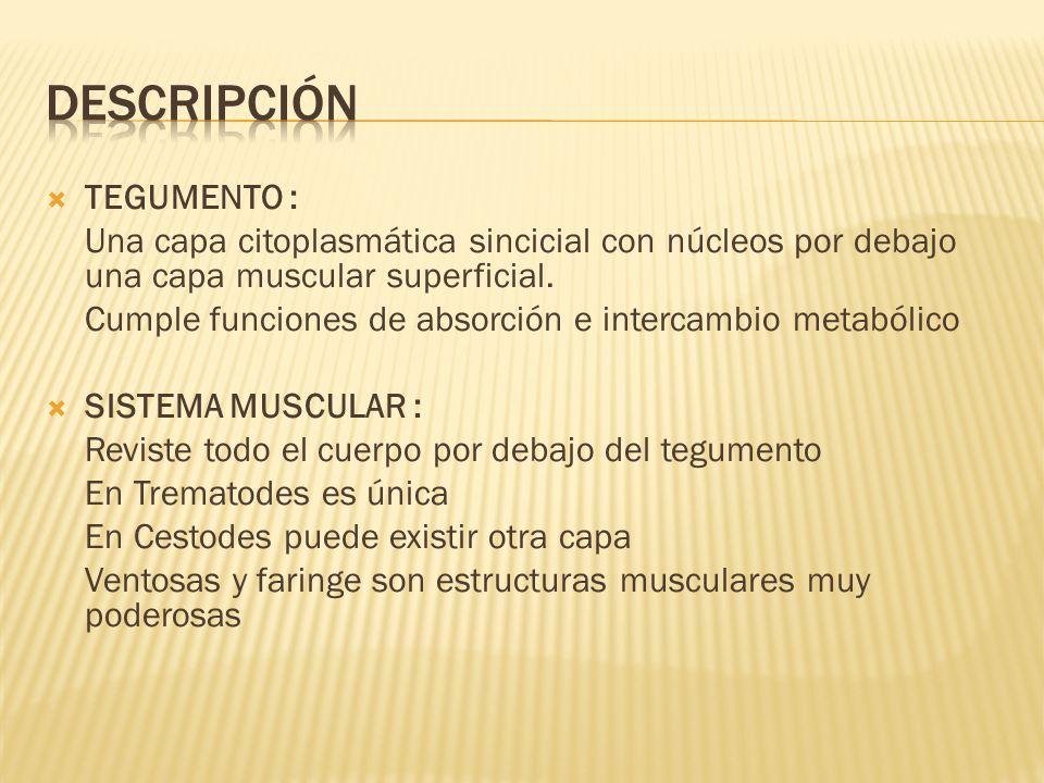 TEGUMENTO : Una capa citoplasmática sincicial con núcleos por debajo una capa muscular superficial. Cumple funciones de absorción e intercambio metabó