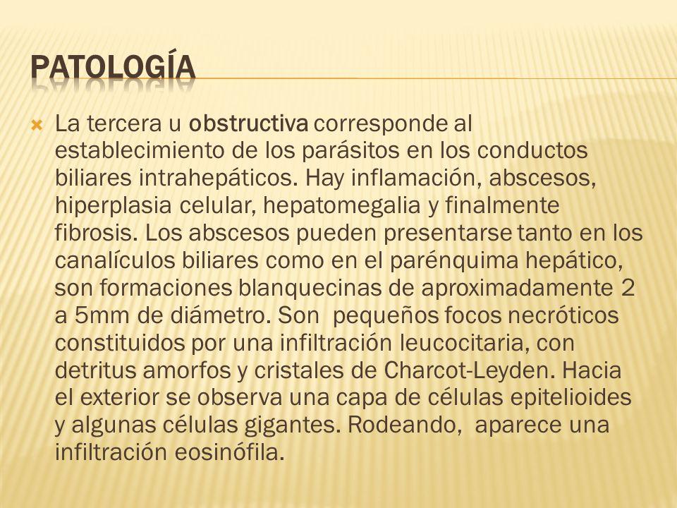 La tercera u obstructiva corresponde al establecimiento de los parásitos en los conductos biliares intrahepáticos. Hay inflamación, abscesos, hiperpla