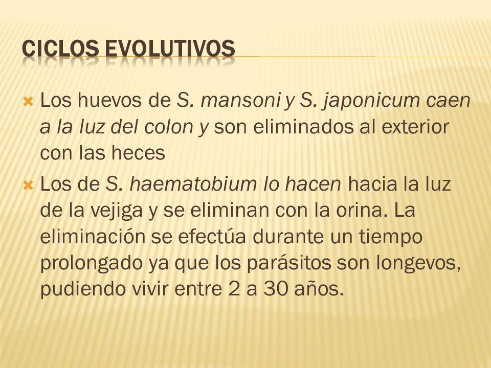 Los huevos de S. mansoni y S. japonicum caen a la luz del colon y son eliminados al exterior con las heces Los de S. haematobium lo hacen hacia la luz
