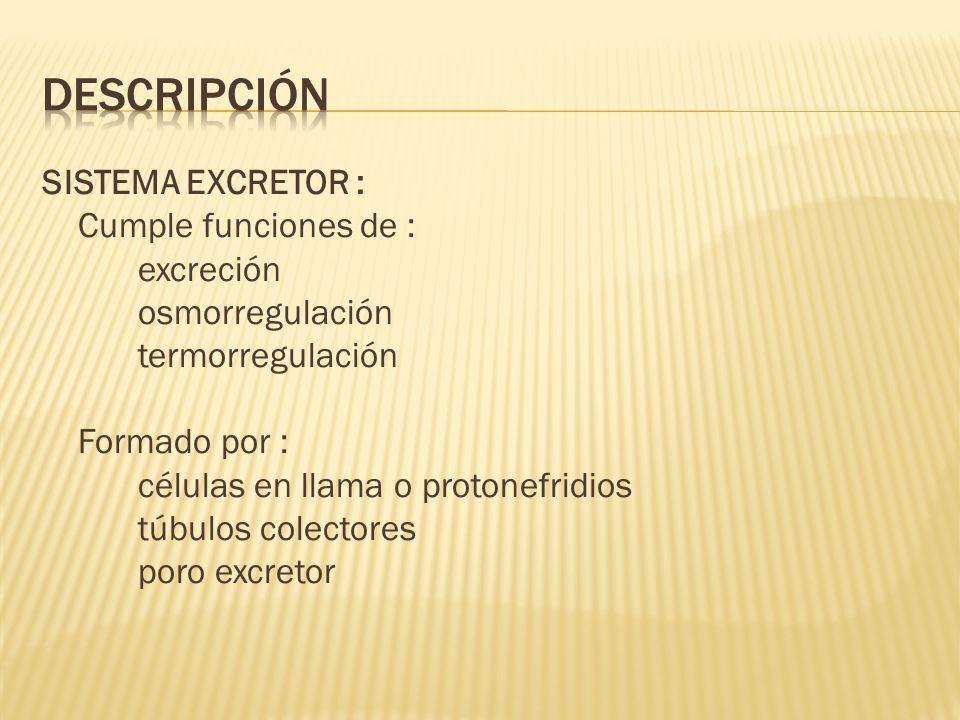 SISTEMA EXCRETOR : Cumple funciones de : excreción osmorregulación termorregulación Formado por : células en llama o protonefridios túbulos colectores