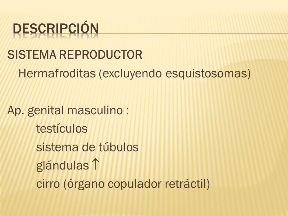 SISTEMA REPRODUCTOR Hermafroditas (excluyendo esquistosomas) Ap. genital masculino : testículos sistema de túbulos glándulas cirro (órgano copulador r