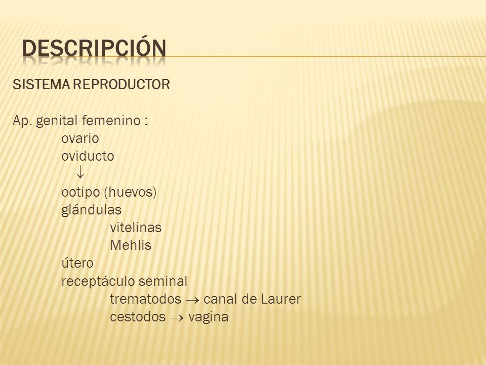 SISTEMA REPRODUCTOR Ap. genital femenino : ovario oviducto ootipo (huevos) glándulas vitelinas Mehlis útero receptáculo seminal trematodos canal de La
