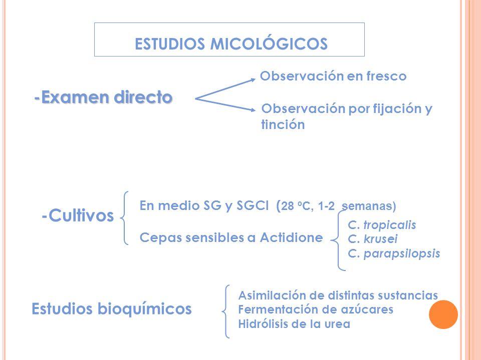 ESTUDIOS MICOLÓGICOS -Examen directo Observación en fresco Observación por fijación y tinción -Cultivos En medio SG y SGCl ( 28 ºC, 1-2 semanas) Cepas sensibles a Actidione C.
