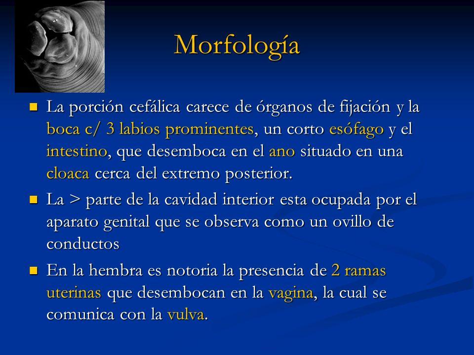 Morfología La porción cefálica carece de órganos de fijación y la boca c/ 3 labios prominentes, un corto esófago y el intestino, que desemboca en el a