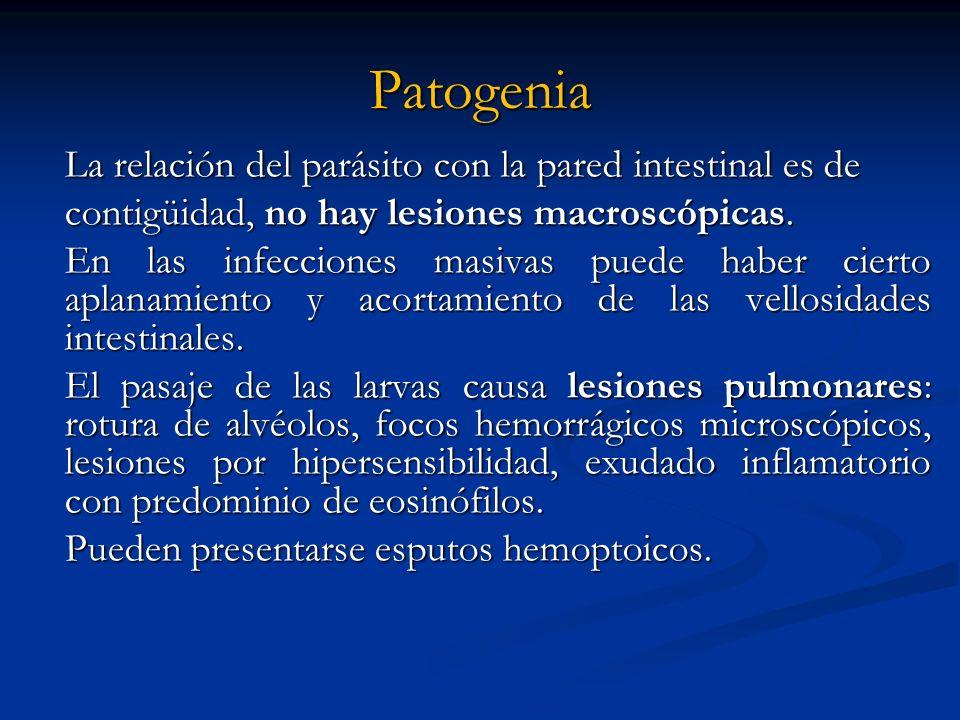 Patogenia La relación del parásito con la pared intestinal es de contigüidad, no hay lesiones macroscópicas. contigüidad, no hay lesiones macroscópica