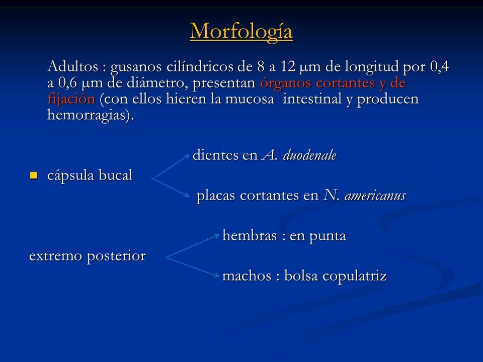 Morfología Adultos : gusanos cilíndricos de 8 a 12 µm de longitud por 0,4 a 0,6 µm de diámetro, presentan órganos cortantes y de fijación (con ellos h
