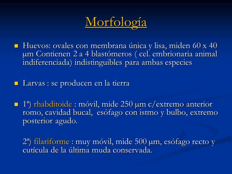 Morfología Huevos: ovales con membrana única y lisa, miden 60 x 40 µm Contienen 2 a 4 blastómeros ( cel. embrionaria animal indiferenciada) indistingu