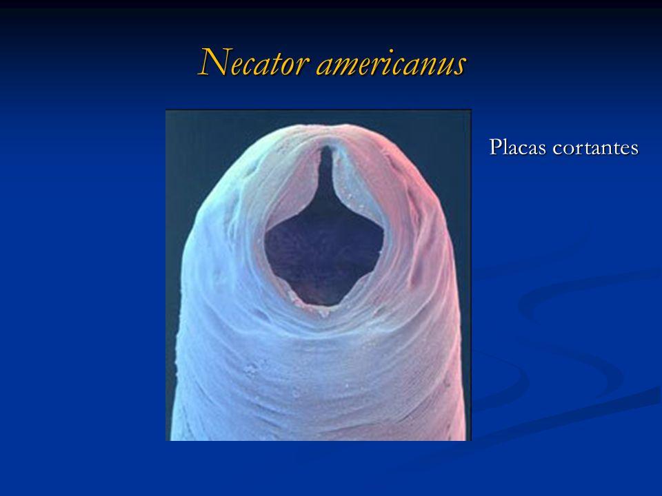 Necator americanus Placas cortantes