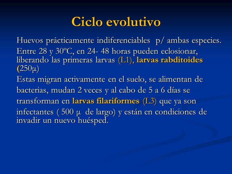 Ciclo evolutivo Huevos prácticamente indiferenciables p/ ambas especies. Entre 28 y 30ºC, en 24- 48 horas pueden eclosionar, liberando las primeras la