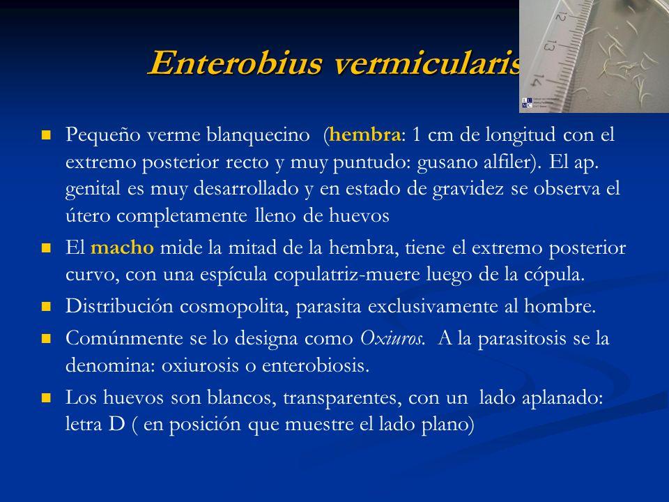 Enterobius vermicularis Pequeño verme blanquecino (hembra: 1 cm de longitud con el extremo posterior recto y muy puntudo: gusano alfiler). El ap. geni