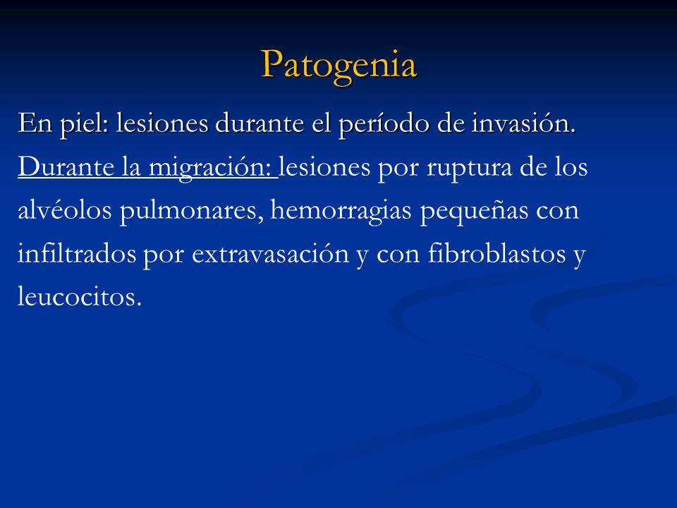 Patogenia En piel: lesiones durante el período de invasión. Durante la migración: lesiones por ruptura de los alvéolos pulmonares, hemorragias pequeña