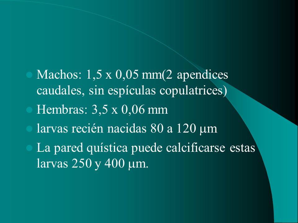 Machos: 1,5 x 0,05 mm(2 apendices caudales, sin espículas copulatrices) Hembras: 3,5 x 0,06 mm larvas recién nacidas 80 a 120 m La pared quística pued
