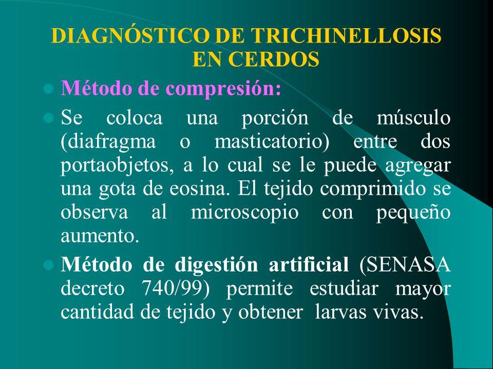 DIAGNÓSTICO DE TRICHINELLOSIS EN CERDOS Método de compresión: Se coloca una porción de músculo (diafragma o masticatorio) entre dos portaobjetos, a lo