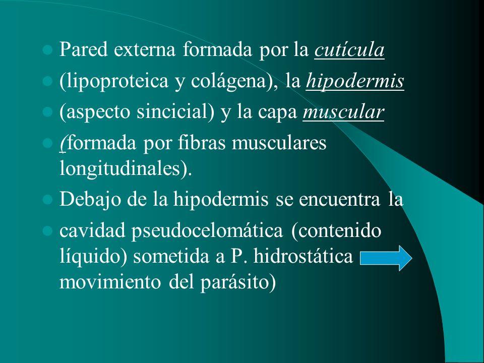 Pared externa formada por la cutícula (lipoproteica y colágena), la hipodermis (aspecto sincicial) y la capa muscular (formada por fibras musculares l