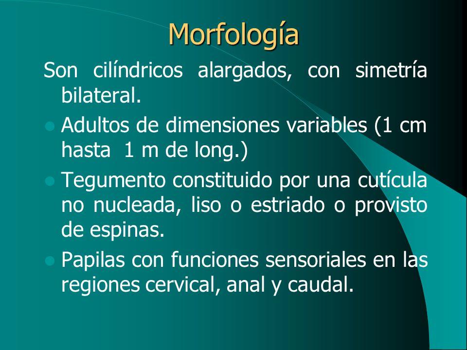 Morfología Son cilíndricos alargados, con simetría bilateral. Adultos de dimensiones variables (1 cm hasta 1 m de long.) Tegumento constituido por una