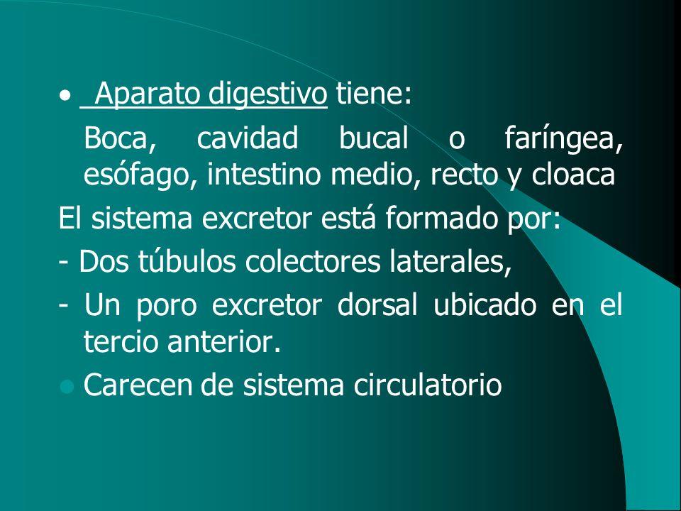Aparato digestivo tiene: Boca, cavidad bucal o faríngea, esófago, intestino medio, recto y cloaca El sistema excretor está formado por: - Dos túbulos