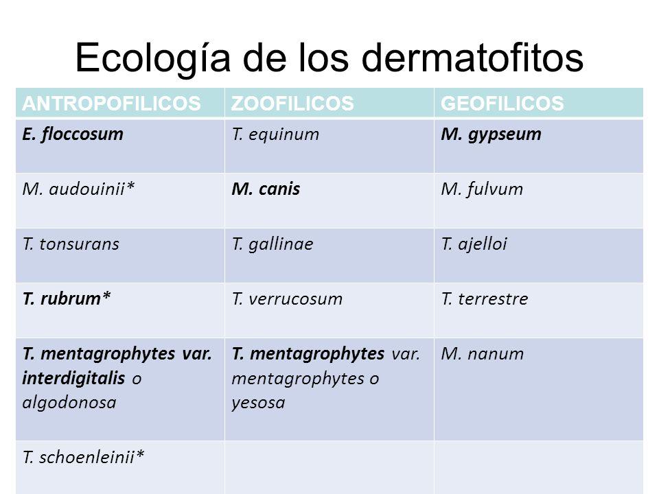 Ecología de los dermatofitos ANTROPOFILICOSZOOFILICOSGEOFILICOS E. floccosumT. equinumM. gypseum M. audouinii*M. canisM. fulvum T. tonsuransT. gallina