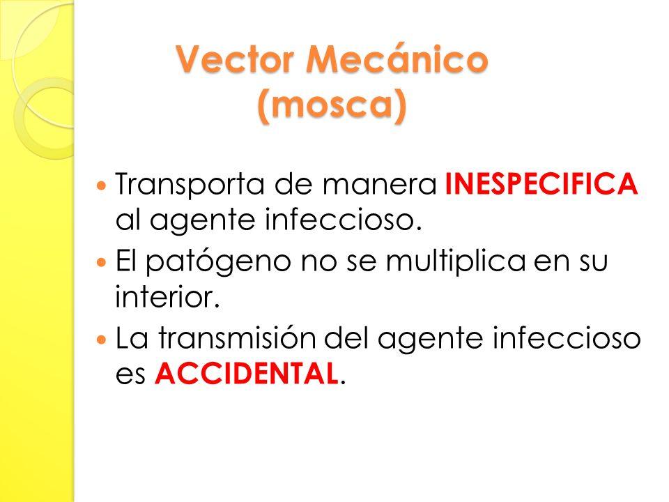 Vector Mecánico (mosca) Transporta de manera INESPECIFICA al agente infeccioso.
