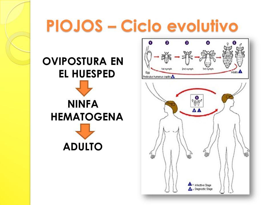 PIOJOS – Ciclo evolutivo OVIPOSTURA EN EL HUESPED NINFA HEMATOGENA ADULTO