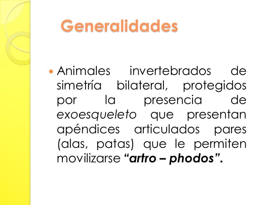 Generalidades Animales invertebrados de simetría bilateral, protegidos por la presencia de exoesqueleto que presentan apéndices articulados pares (alas, patas) que le permiten movilizarse artro – phodos.