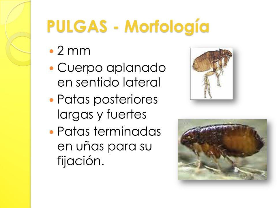 PULGAS - Morfología 2 mm Cuerpo aplanado en sentido lateral Patas posteriores largas y fuertes Patas terminadas en uñas para su fijación.