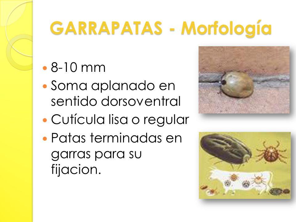 GARRAPATAS - Morfología 8-10 mm Soma aplanado en sentido dorsoventral Cutícula lisa o regular Patas terminadas en garras para su fijacion.