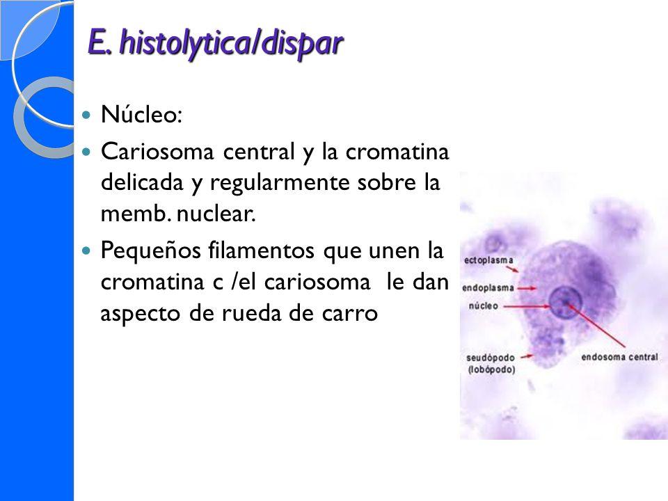 E. histolytica/dispar Núcleo: Cariosoma central y la cromatina delicada y regularmente sobre la memb. nuclear. Pequeños filamentos que unen la cromati