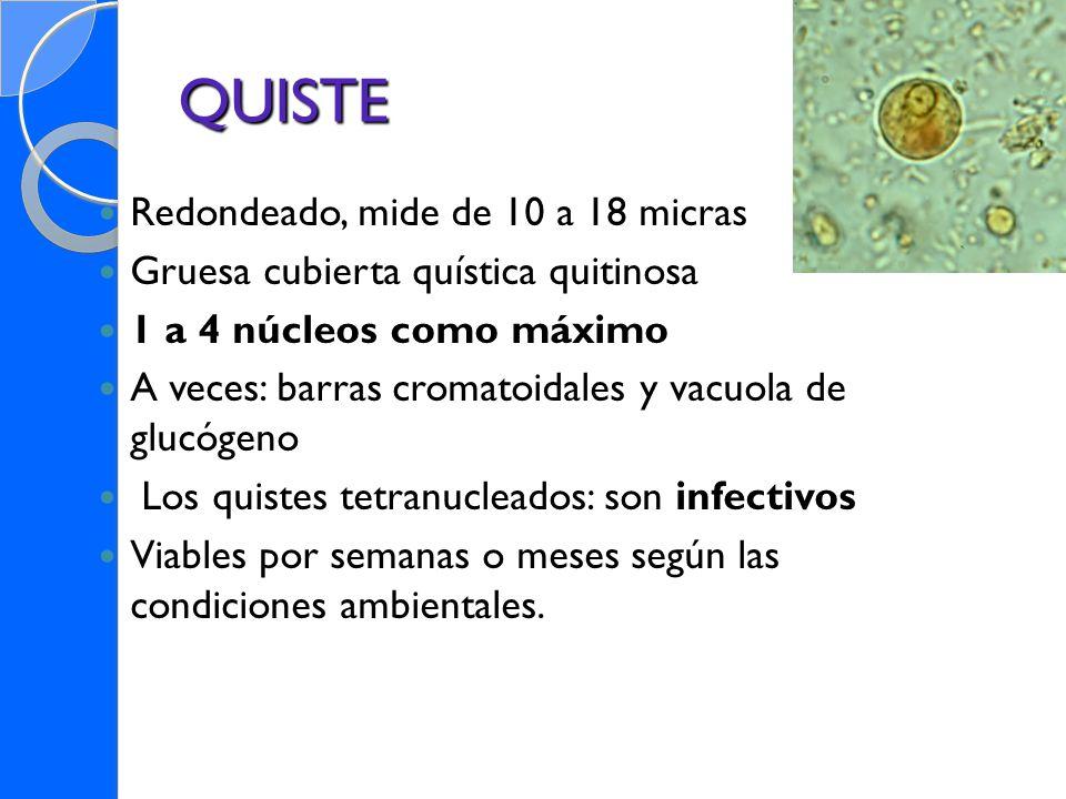 QUISTE Redondeado, mide de 10 a 18 micras Gruesa cubierta quística quitinosa 1 a 4 núcleos como máximo A veces: barras cromatoidales y vacuola de gluc