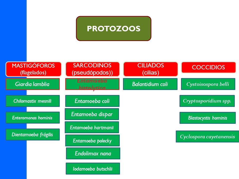 MASTIGÓFOROS (flagelados) SARCODINOS (pseudópodos)) CILIADOS (cilias) COCCIDIOS Giardia lamblia Chilomastix mesnili Enteromonas hominis Entamoeba hist