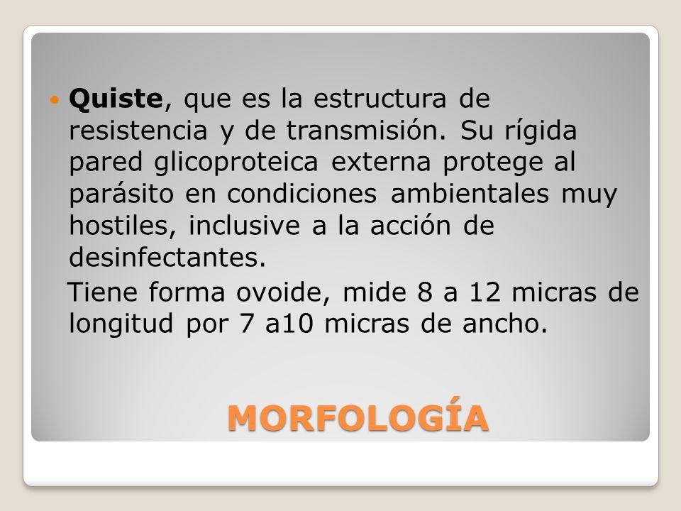 MORFOLOGÍA Quiste, que es la estructura de resistencia y de transmisión. Su rígida pared glicoproteica externa protege al parásito en condiciones ambi