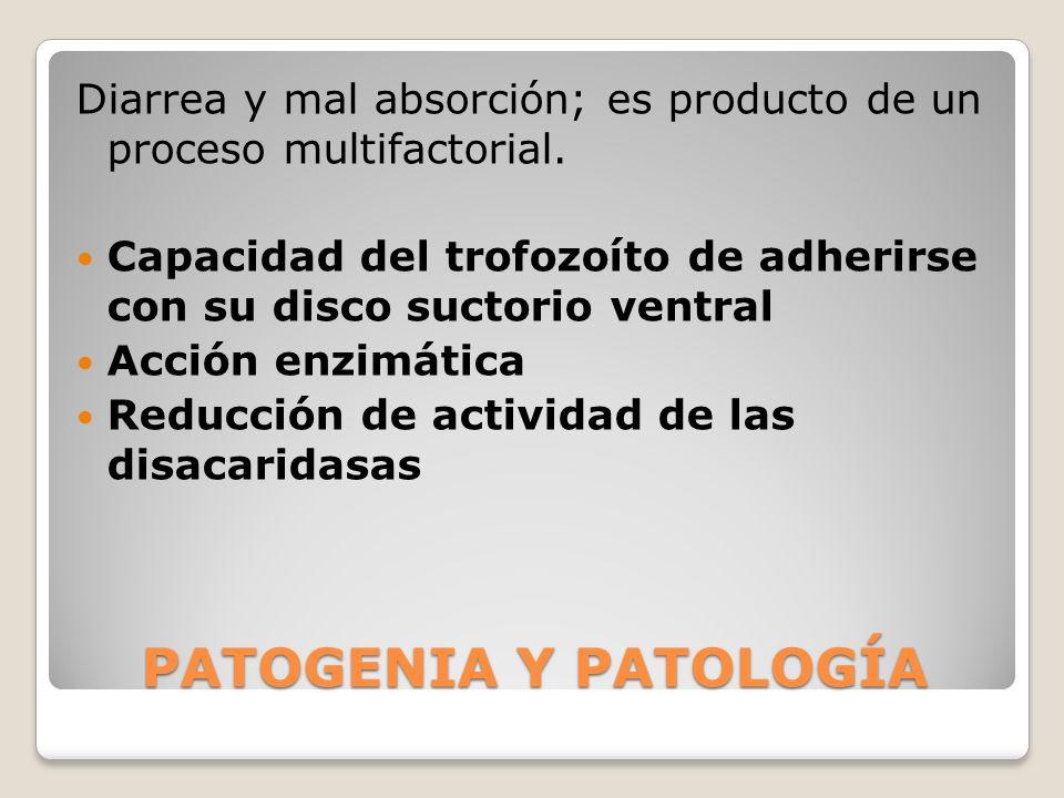 PATOGENIA Y PATOLOGÍA Diarrea y mal absorción; es producto de un proceso multifactorial. Capacidad del trofozoíto de adherirse con su disco suctorio v