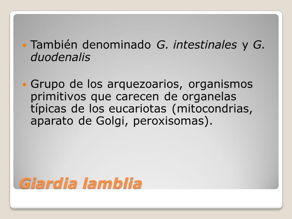 Giardia lamblia Se encuentra clasificado dentro de la clase Zoomastigophorea, tiene flagelos como medios de locomoción.