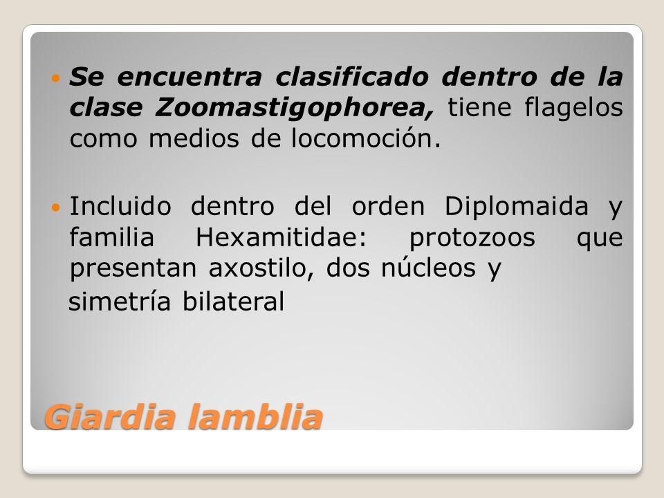 Giardia lamblia Se encuentra clasificado dentro de la clase Zoomastigophorea, tiene flagelos como medios de locomoción. Incluido dentro del orden Dipl