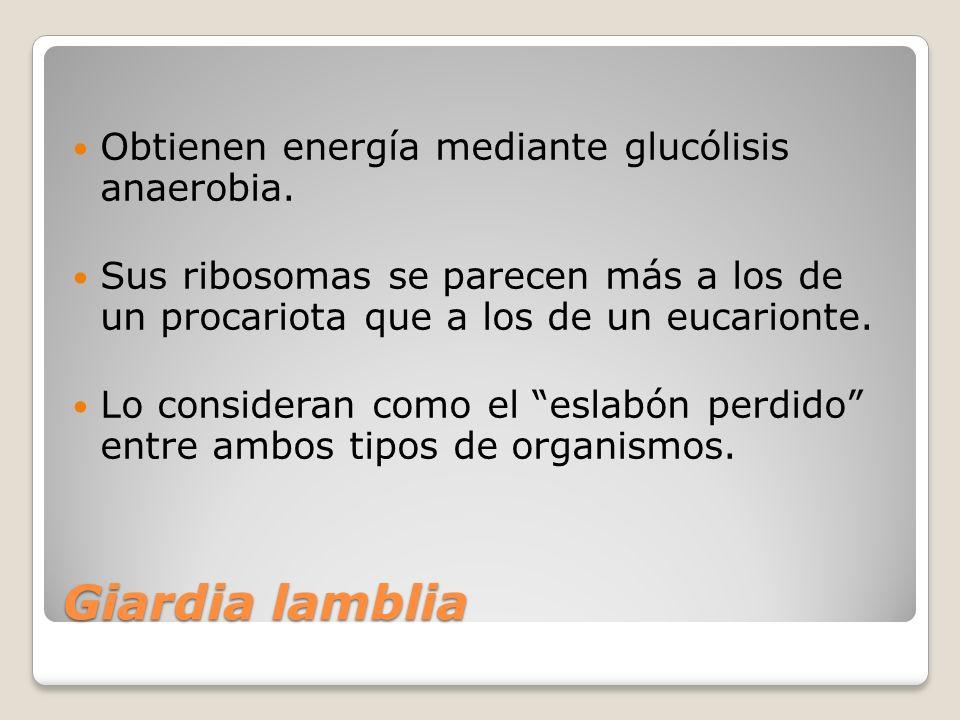Giardia lamblia Obtienen energía mediante glucólisis anaerobia. Sus ribosomas se parecen más a los de un procariota que a los de un eucarionte. Lo con