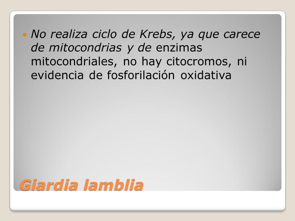 Giardia lamblia No realiza ciclo de Krebs, ya que carece de mitocondrias y de enzimas mitocondriales, no hay citocromos, ni evidencia de fosforilación