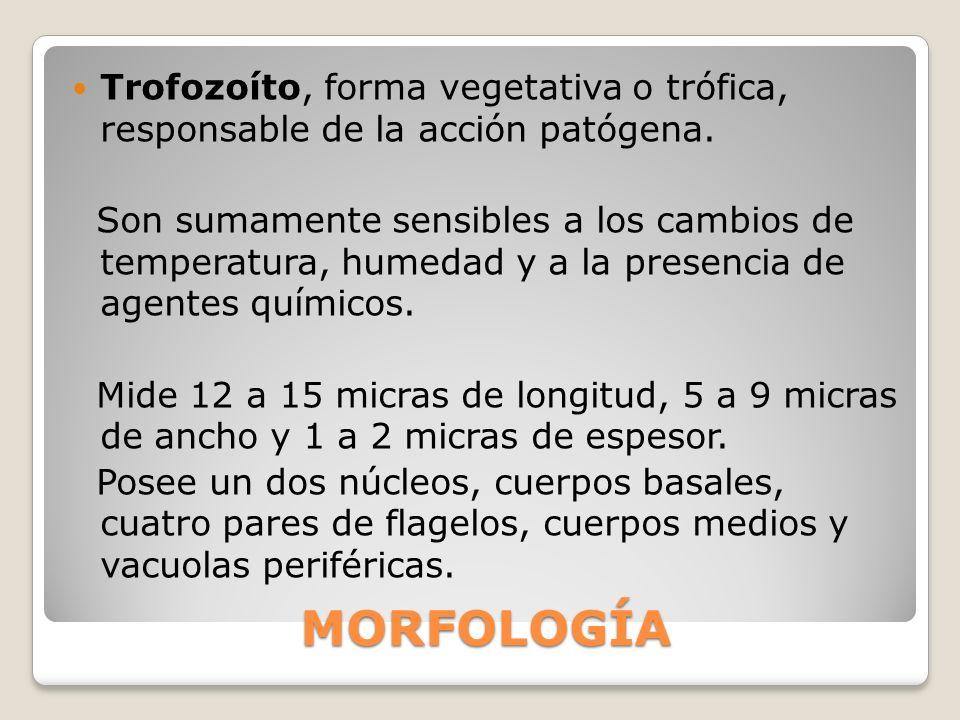Trofozoítos, diámetro de 15 micras, alargados, presentan un núcleo situado en la parte anterior y provisto de un cariosoma central.