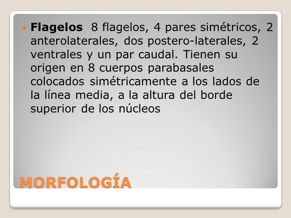 MORFOLOGÍA Flagelos 8 flagelos, 4 pares simétricos, 2 anterolaterales, dos postero-laterales, 2 ventrales y un par caudal. Tienen su origen en 8 cuerp