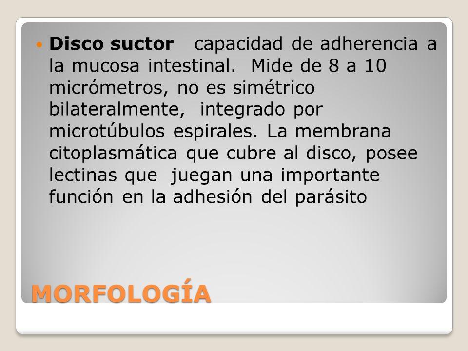 MORFOLOGÍA Disco suctor capacidad de adherencia a la mucosa intestinal. Mide de 8 a 10 micrómetros, no es simétrico bilateralmente, integrado por micr