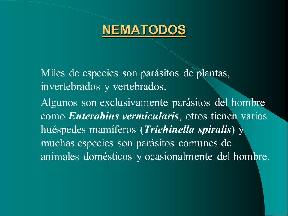 NEMATODOS Miles de especies son parásitos de plantas, invertebrados y vertebrados. Algunos son exclusivamente parásitos del hombre como Enterobius ver
