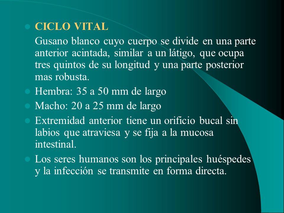 CICLO VITAL Gusano blanco cuyo cuerpo se divide en una parte anterior acintada, similar a un látigo, que ocupa tres quintos de su longitud y una parte