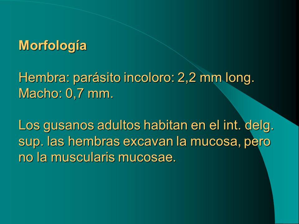 Morfología Hembra: parásito incoloro: 2,2 mm long. Macho: 0,7 mm. Los gusanos adultos habitan en el int. delg. sup. las hembras excavan la mucosa, per