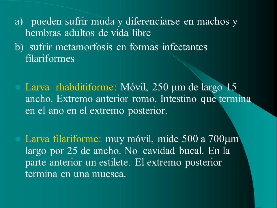 a) pueden sufrir muda y diferenciarse en machos y hembras adultos de vida libre b) sufrir metamorfosis en formas infectantes filariformes Larva rhabdi