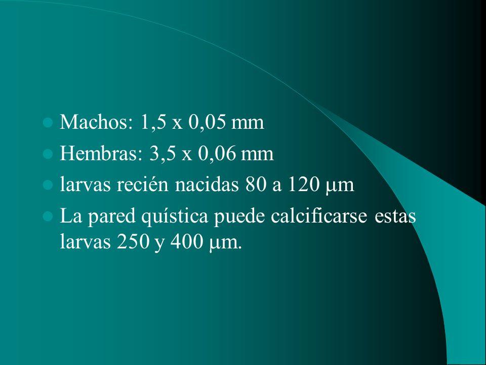 Machos: 1,5 x 0,05 mm Hembras: 3,5 x 0,06 mm larvas recién nacidas 80 a 120 m La pared quística puede calcificarse estas larvas 250 y 400 m.