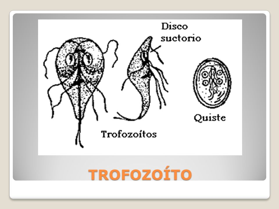 Dientamoeba fragilis Trofozoíto (no posee forma quística