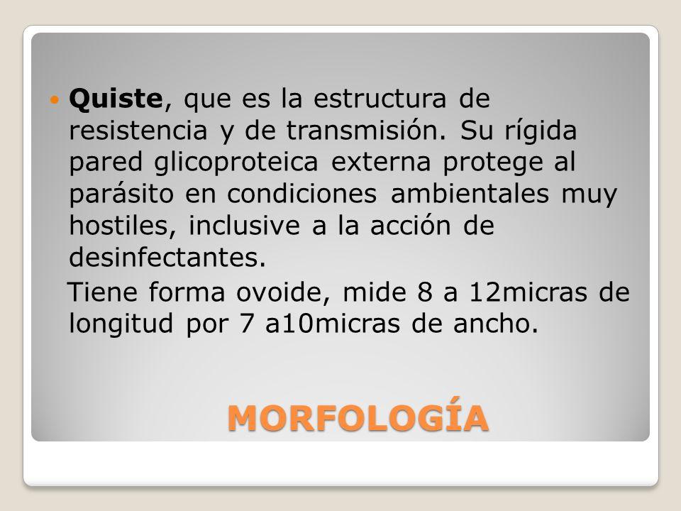 QUISTE Quiste: 2 a 4 núcleos, en las formas quísticas inmadura y madura respectivamente.